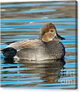 Gadwall Duck Drake Swimming Canvas Print