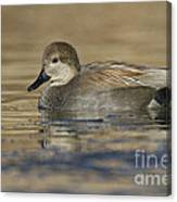 Gadwall On Icy Pond Canvas Print