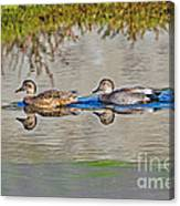 Gadwall Pair Swimming Together Canvas Print