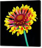 Gaillardia Arizona Sun Canvas Print