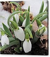 Galanthus Nivalis Snowdrops Canvas Print