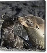 Galapagos Fur Seals Canvas Print