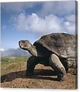 Galapagos Giant Tortoise On Alcedo Canvas Print