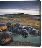 Galapagos Giant Tortoise Wallowing Canvas Print