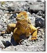 Galapagos Iguana On The Move Canvas Print