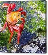 Galapagos Sally Lightfoot Crab Canvas Print