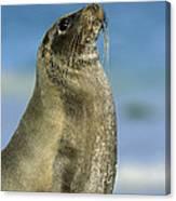 Galapagos Sea Lion Coral Beach Canvas Print