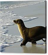 Galapagos Sea Lion In Gardner Bay Canvas Print