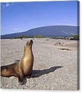 Galapagos Sea Lion Juvenile On Beach Canvas Print