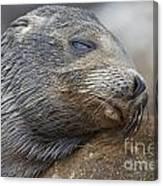 Galapagos Sea Lion Sleeping Canvas Print