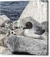 Galapagos Seagull And Her Chick Canvas Print