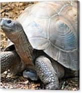 Galapagos Tortoise 2 Canvas Print