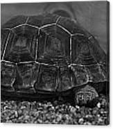 Galapagos Tortoise Baby Canvas Print