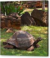 Galapagos Turtle At Honolulu Zoo Canvas Print