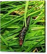 Gallium Sphinx Caterpillar Canvas Print