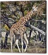 Galloping Giraffe  Canvas Print