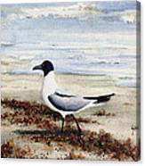 Galveston Gull Canvas Print