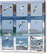Gannets Galore Canvas Print