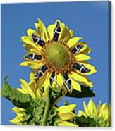 Garciacat Sunflower Canvas Print