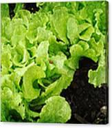 Garden Fresh Baby Lettuce And Lady Bug Canvas Print