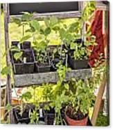 Garden Herb Nursery Canvas Print