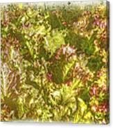 Garden Lettuce - Green Gold Canvas Print
