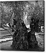 Garden Of Gethsemane Olive Tree Canvas Print