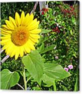 Garden Sunflower Canvas Print