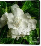 Gardenia In The Rain Canvas Print
