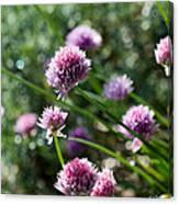 Garlic Chives Flowers Canvas Print
