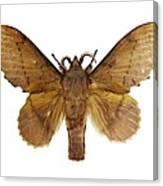 Gastropacha Quercifolia Moth Canvas Print