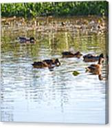 Gathering - Mallars Ducks In Creek Enkopingsaan  Canvas Print