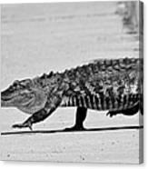 Gator Walking Canvas Print