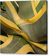 Gave Cactus Canvas Print