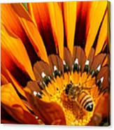 Gazania Pollination Canvas Print