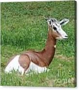 Gazelle At Rest 1 Canvas Print