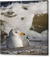 Gazing Gull Canvas Print