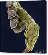 Gecko Foot Sem Canvas Print