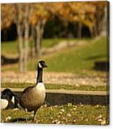 Geese Strolling In Park Canvas Print