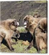 Gelada Baboons Threat Display Canvas Print