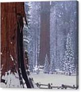 2m6835-general Sherman Tree - Giant Sequoias Canvas Print