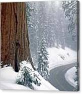 2m6836-generals Highway In The Giant Sequoias Canvas Print