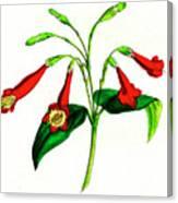 Gentian (lisianthus Puleber) Canvas Print