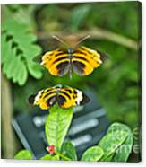Gentle Butterfly Courtship 01 Canvas Print