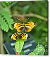 Gentle Butterfly Courtship 02 Canvas Print