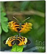 Gentle Butterfly Courtship 03 Canvas Print
