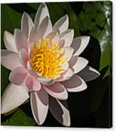 Gently Pink Waterlily In The Hot Mediterranean Sun Canvas Print