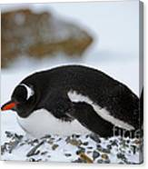 Gentoo Penguin On Nest Canvas Print