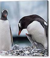 Gentoo Penguin With Chick Begging Canvas Print
