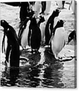 Gentoo Penguins On Rocky Shoreline On Port Lockroy Antarctica Canvas Print